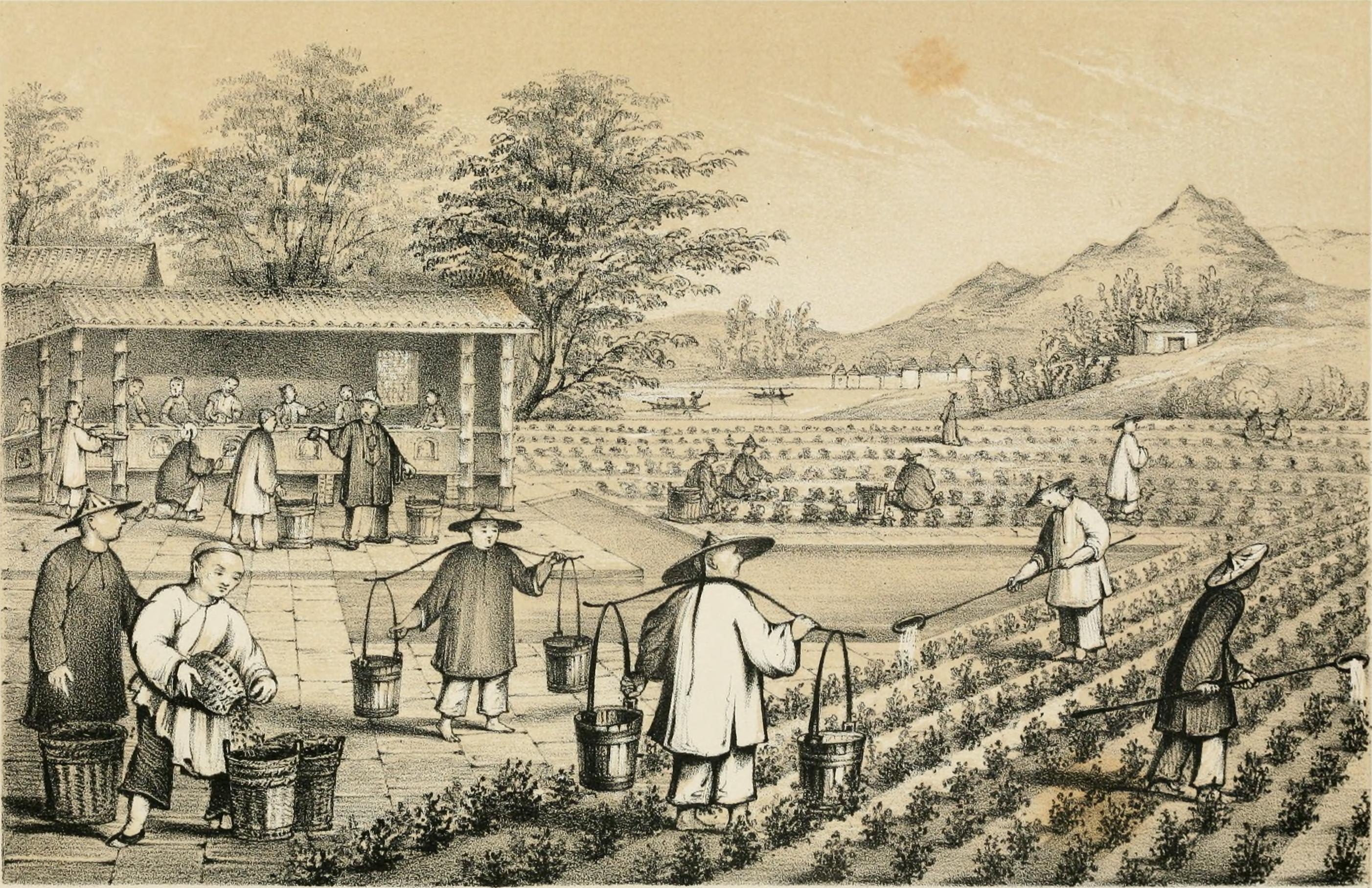 Preparations and History of Tea